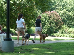 These dogs are walking calmly with their relaxed handlers.